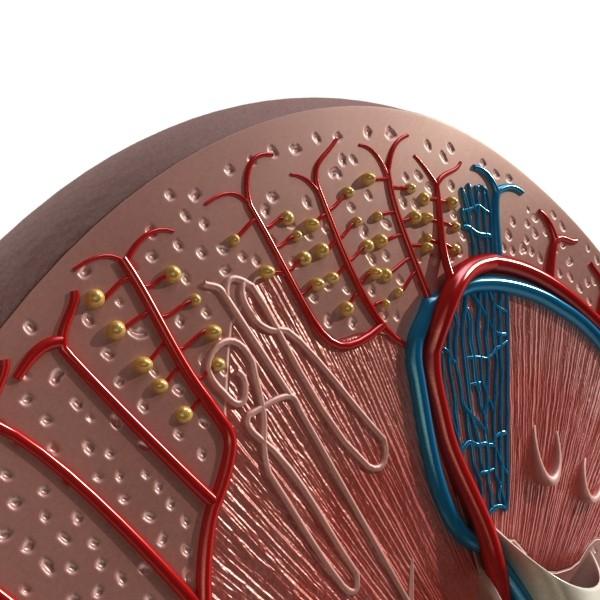 3D Model Kidney Anatomy High Detail ( 95.73KB jpg by VKModels )