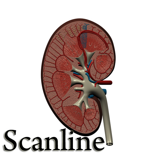 3D Model Kidney Anatomy High Detail ( 76.33KB jpg by VKModels )