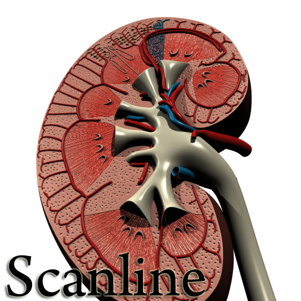 3D Model Kidney Anatomy High Detail ( 126.51KB jpg by VKModels )