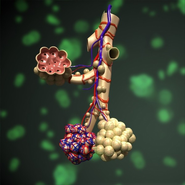alveolių anatomija 3d modelis max fbx obj 132312