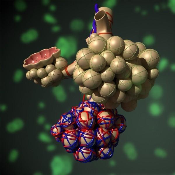model anatomi 3d alveoli max fbx obj 132316