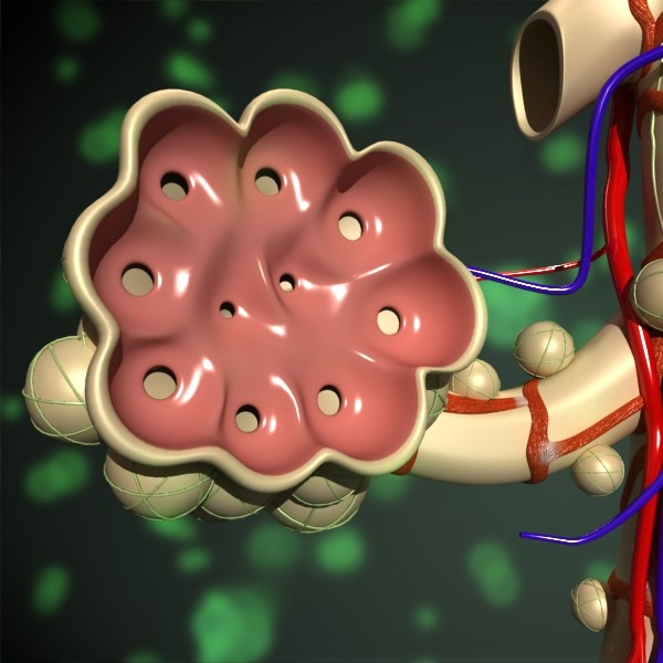 alveolių anatomija 3d modelis max fbx obj 132318