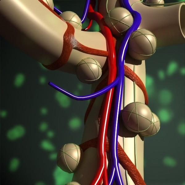 alveolių anatomija 3d modelis max fbx obj 132320