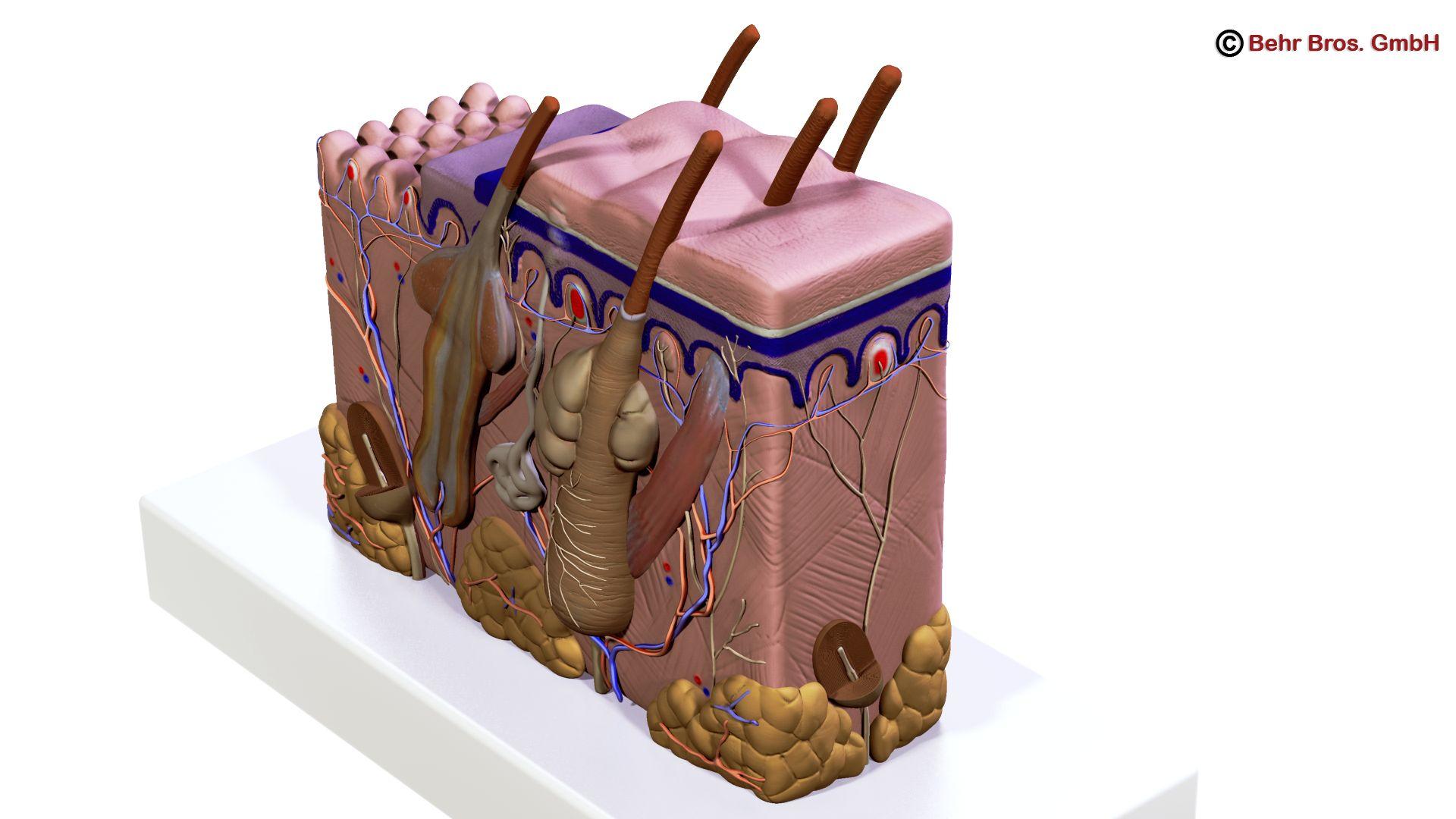 Human Skin Section 3d model 3ds max fbx c4d lwo lws lw ma mb obj 161728