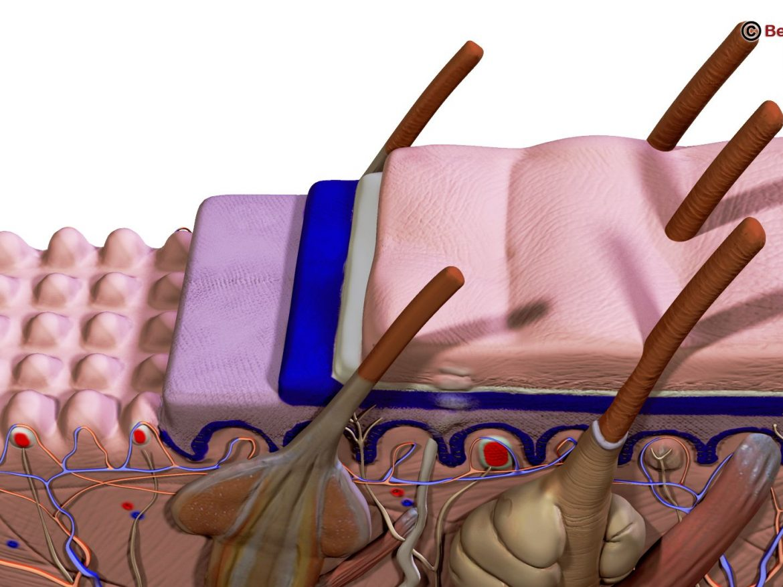 Human Skin Section ( 212.79KB jpg by Behr_Bros. )