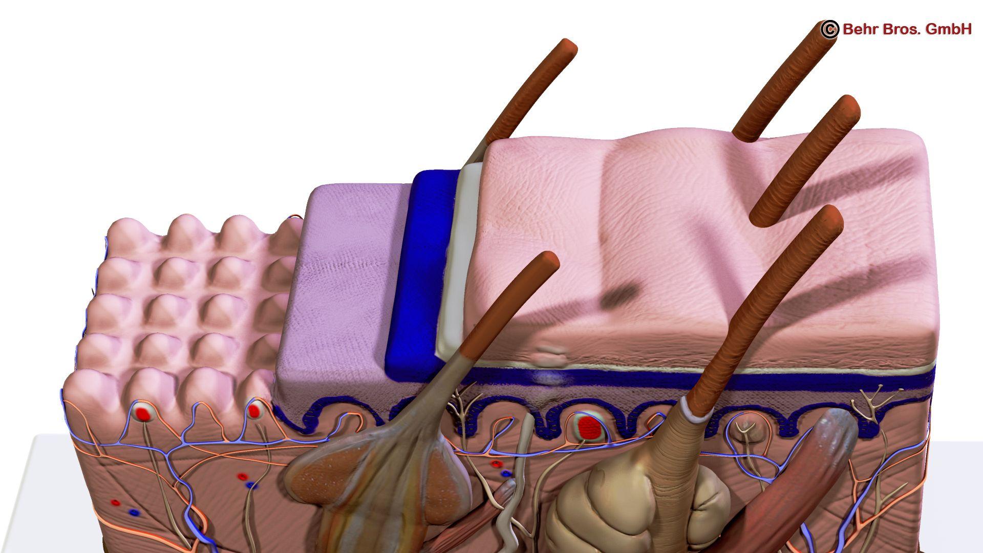 Human Skin Section 3d model 3ds max fbx c4d lwo lws lw ma mb obj 161729