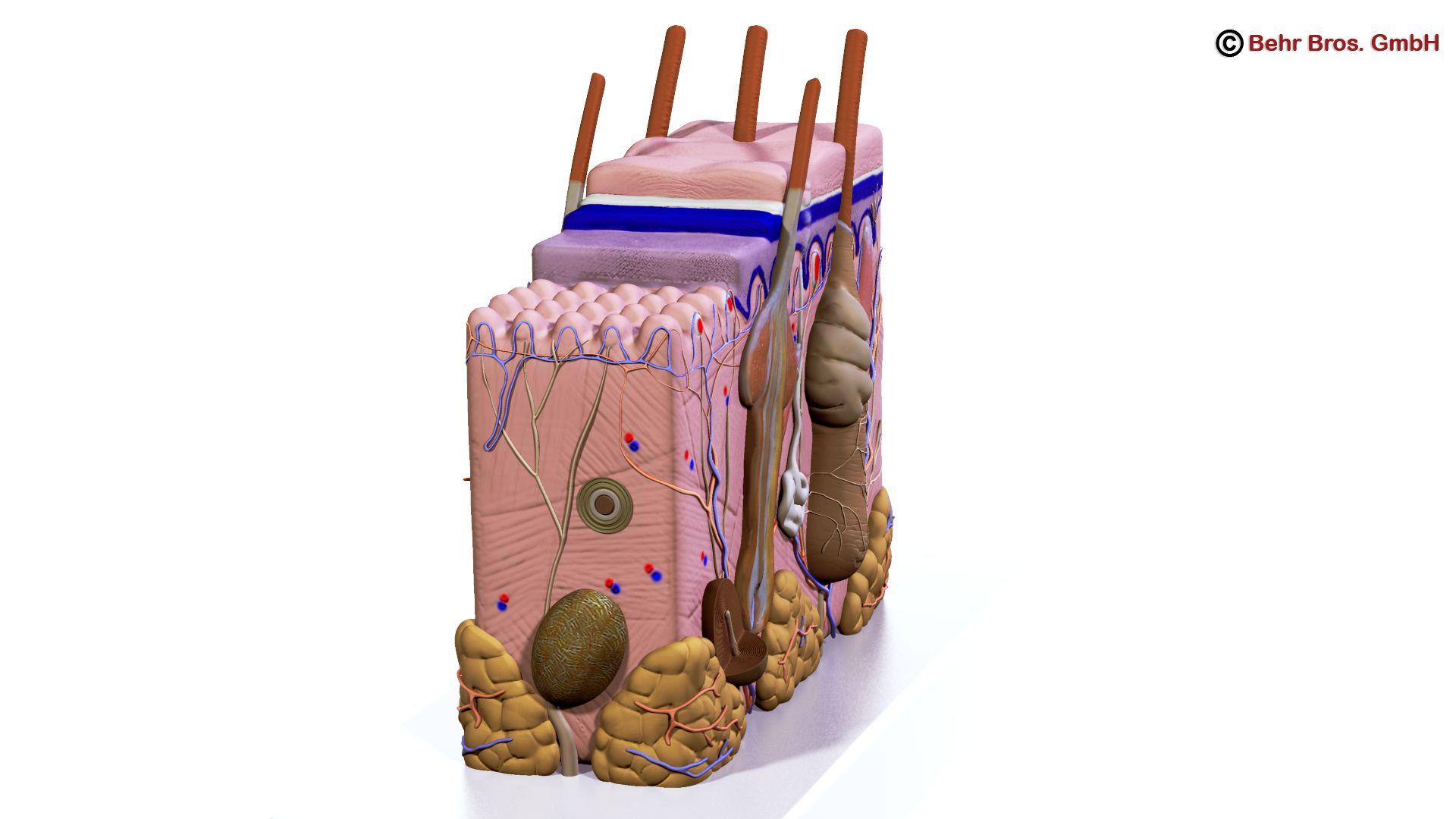 Human Skin Section 3d model 3ds max fbx c4d lwo lws lw ma mb obj 161730