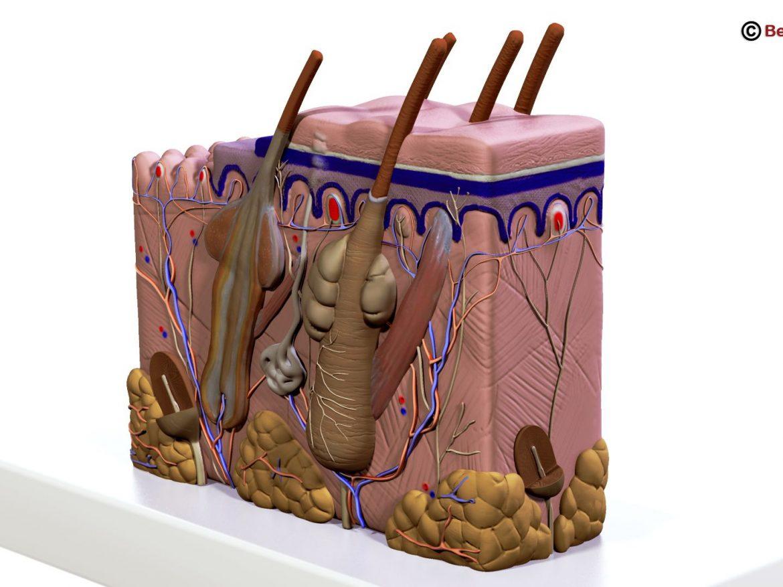 Human Skin Section ( 167.21KB jpg by Behr_Bros. )
