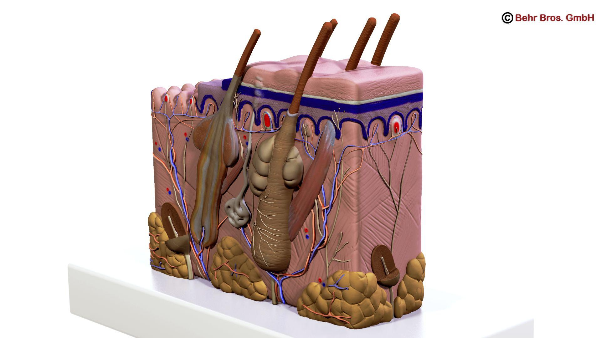 Human Skin Section 3d model 3ds max fbx c4d lwo lws lw ma mb obj 161733