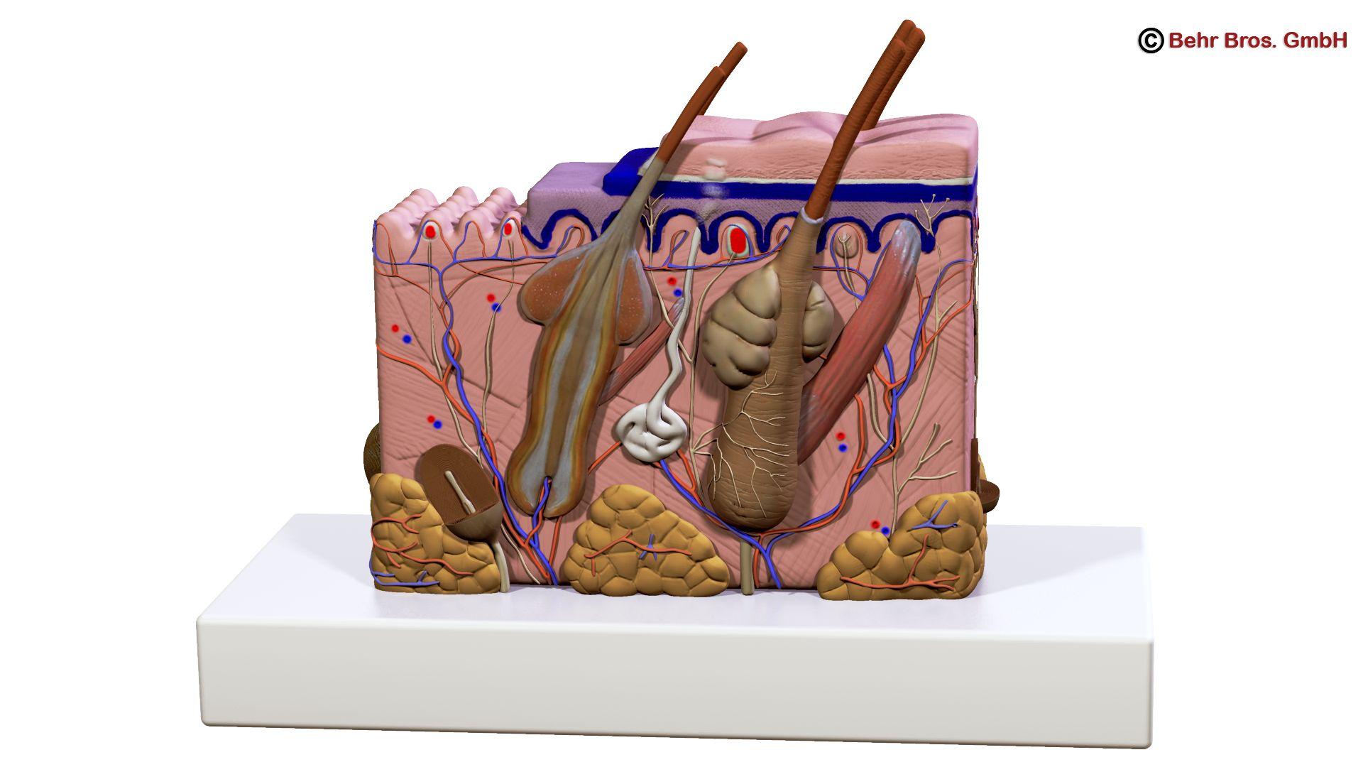 Human Skin Section 3d model 3ds max fbx c4d lwo lws lw ma mb obj 161734