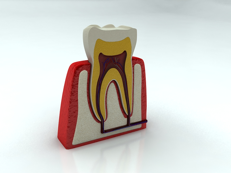 tooth 3d model max 150309