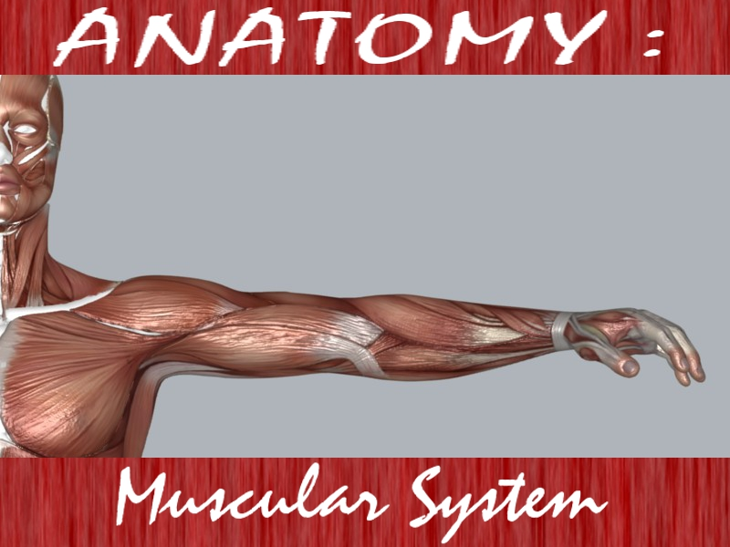 muscular system 3d model max 114638