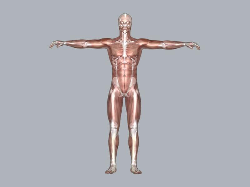muscular system 3d model max 114639