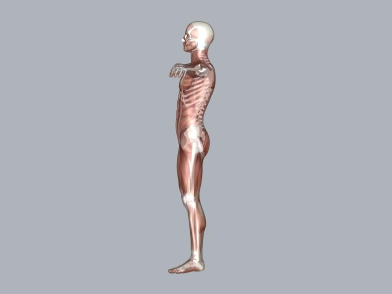 muscular system 3d model max 114641