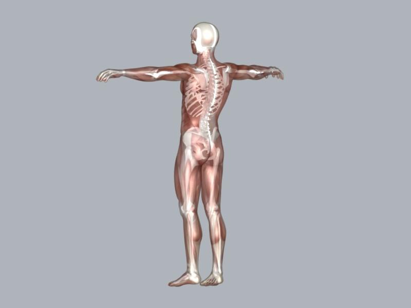 muscular system 3d model max 114642
