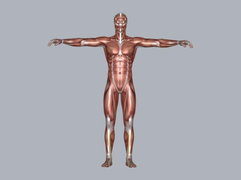 muscular system 3d model max 114643