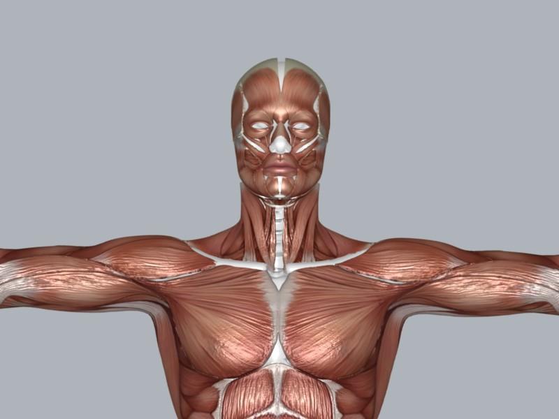 muscular system 3d model max 114644