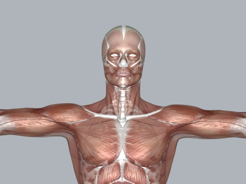 muscular system 3d model max 114645