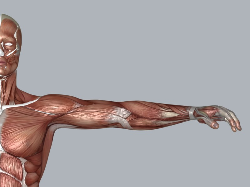 muscular system 3d model max 114646