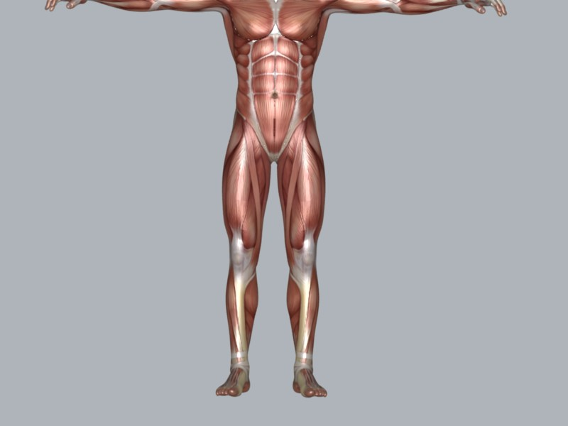 muscular system 3d model max 114647