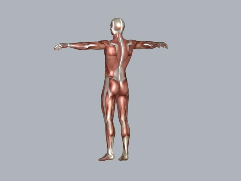 muscular system 3d model max 114648