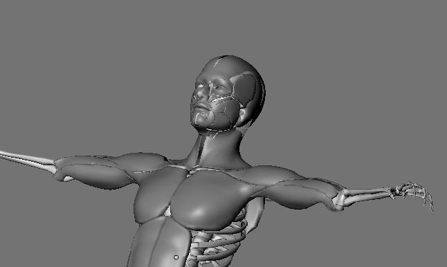 muscular system 3d model max 114649