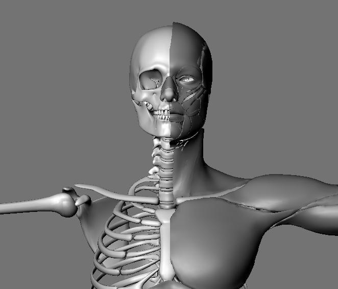 muscular system 3d model max 114650