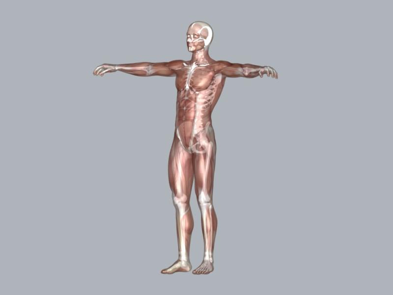 Muscular System ( 25.44KB jpg by DesignDsdPro )