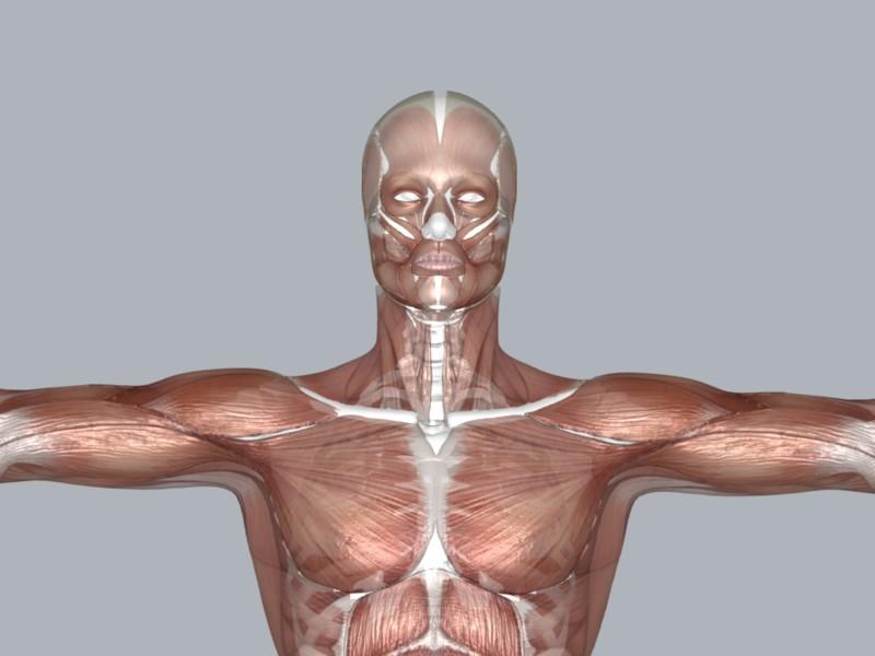 Muscular System ( 53.86KB jpg by DesignDsdPro )