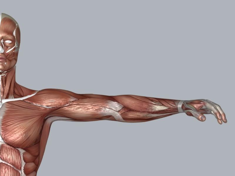 Muscular System ( 66.69KB jpg by DesignDsdPro )