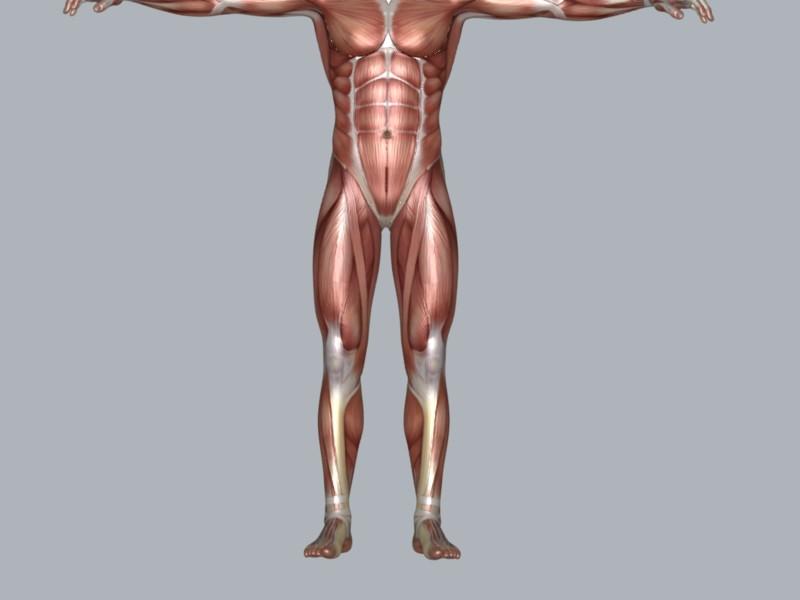 Muscular System ( 31.36KB jpg by DesignDsdPro )