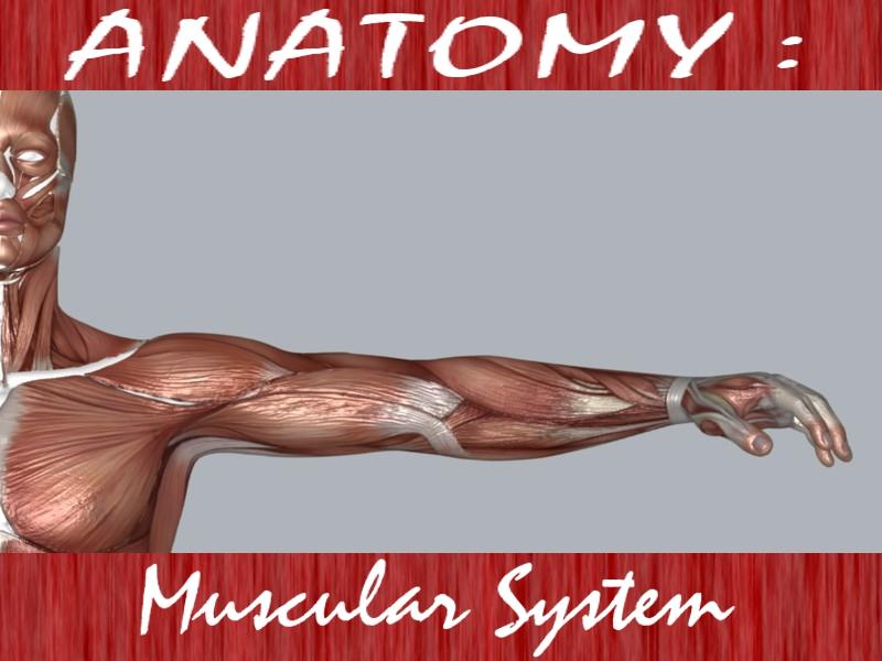 Muscular System ( 175.77KB jpg by DesignDsdPro )