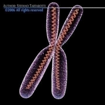 Chromosome with DNA ( 45.26KB jpg by tartino )