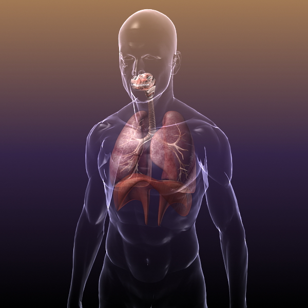 Respiratory System Lungs In A Human Body 3d Model