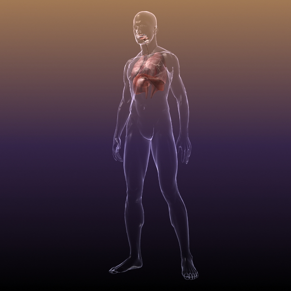 respiratory system, lungs in a human body 3d model 3ds max dxf fbx c4d lwo ma mb other 3dm hrc xsi  texture obj 150940