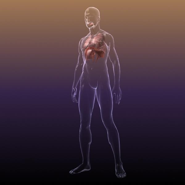dišni sustav, pluća u ljudskom tijelu 3d model 3ds max dxf fbx c4d lwo ma mb 3dm hrc xsi tekstura obj drugo 150940