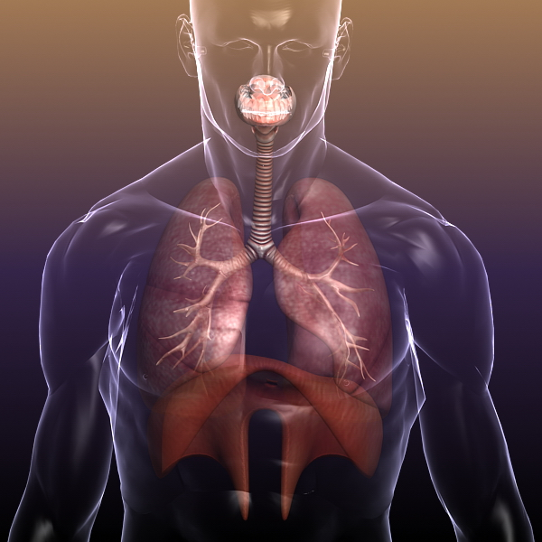 respiratory system, lungs in a human body 3d model 3ds max dxf fbx c4d lwo ma mb other 3dm hrc xsi  texture obj 150941
