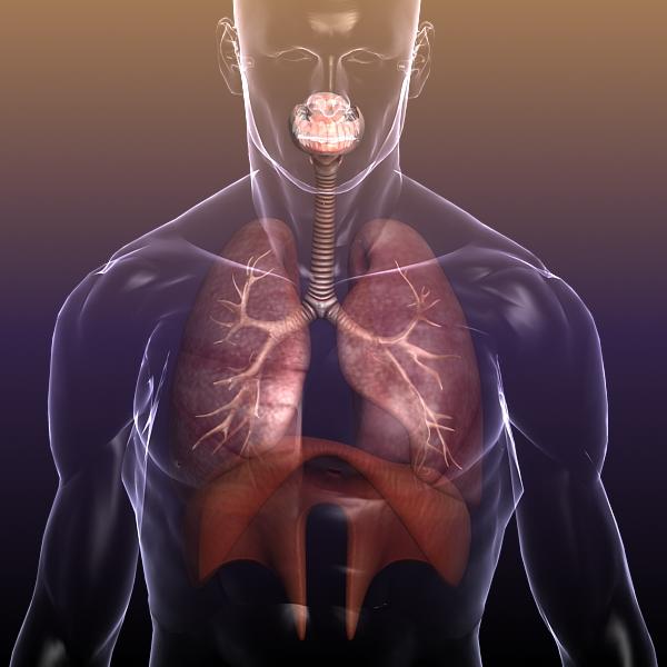 dišni sustav, pluća u ljudskom tijelu 3d model 3ds max dxf fbx c4d lwo ma mb 3dm hrc xsi tekstura obj drugo 150941