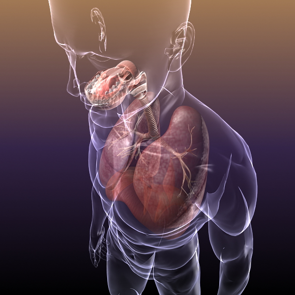 respiratory system, lungs in a human body 3d model 3ds max dxf fbx c4d lwo ma mb other 3dm hrc xsi  texture obj 150942