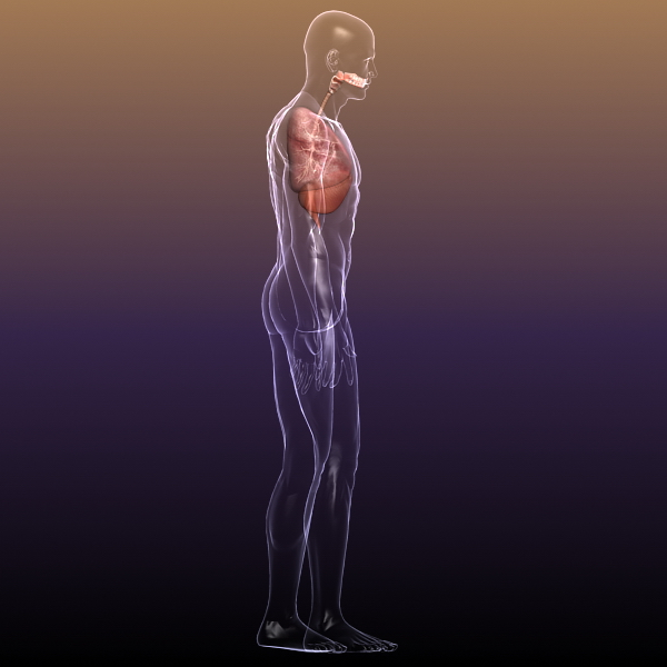 respiratory system, lungs in a human body 3d model 3ds max dxf fbx c4d lwo ma mb other 3dm hrc xsi  texture obj 150943