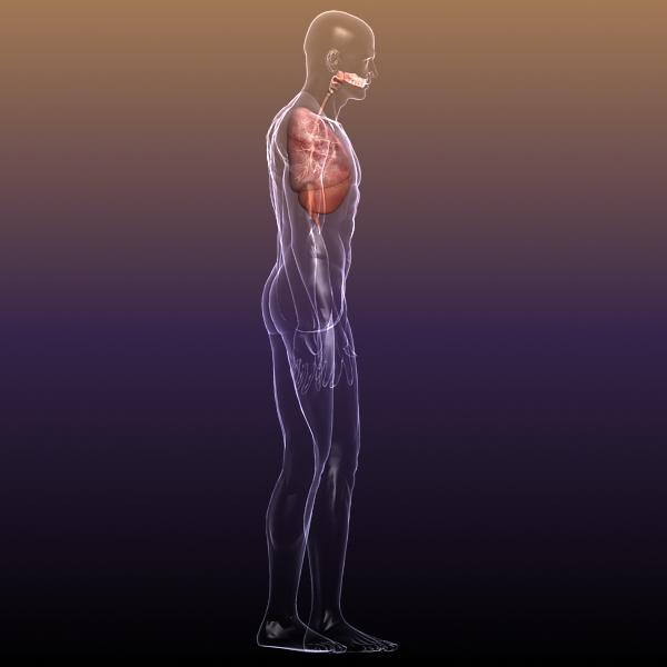 dišni sustav, pluća u ljudskom tijelu 3d model 3ds max dxf fbx c4d lwo ma mb 3dm hrc xsi tekstura obj drugo 150943