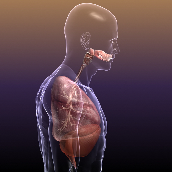 respiratory system, lungs in a human body 3d model 3ds max dxf fbx c4d lwo ma mb other 3dm hrc xsi  texture obj 150944
