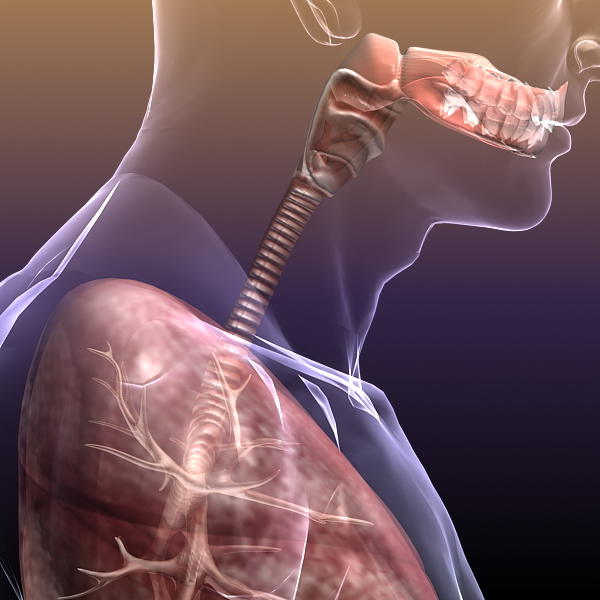 respiratory system, lungs in a human body 3d model 3ds max dxf fbx c4d lwo ma mb other 3dm hrc xsi  texture obj 150945