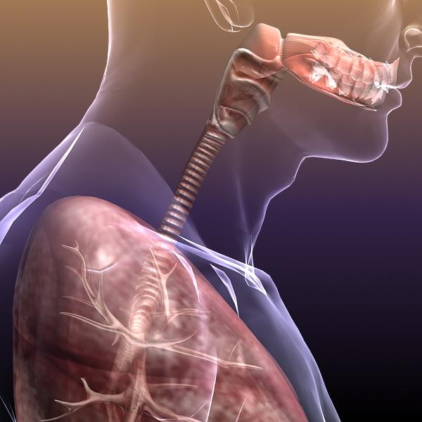 dišni sustav, pluća u ljudskom tijelu 3d model 3ds max dxf fbx c4d lwo ma mb 3dm hrc xsi tekstura obj drugo 150945