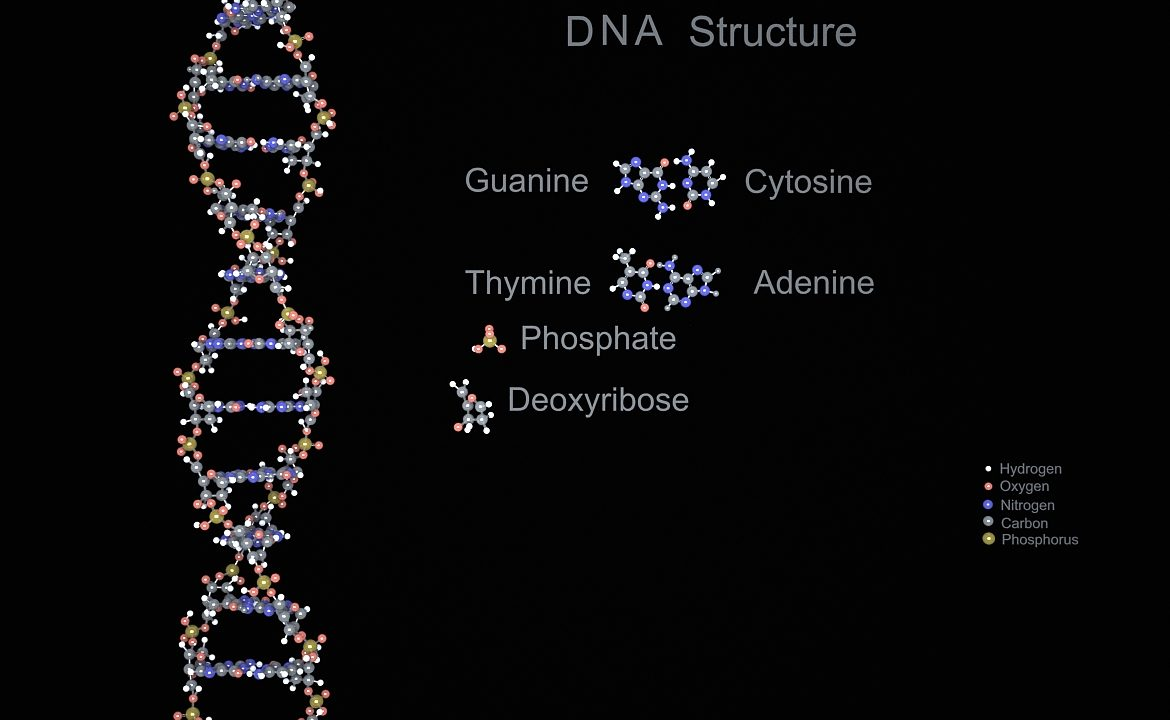 DNA Double Helix ( 288.9KB jpg by S.E )