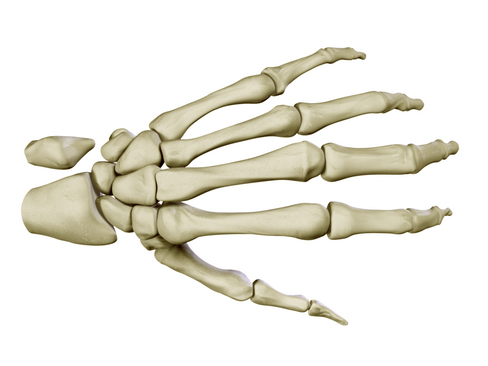 hand skeleton 3d model 3ds max c4d lwo ma mb obj 116024