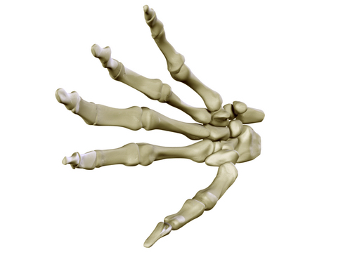 hand skeleton 3d model 3ds max c4d lwo ma mb obj 116026