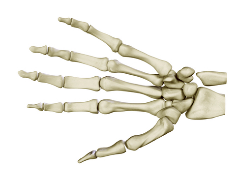 hand skeleton 3d model 3ds max c4d lwo ma mb obj 116027