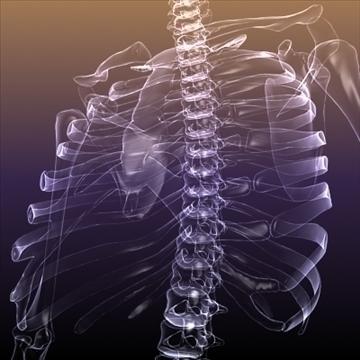 Skeleton of a Human X Ray scan RenderReady ( 97.59KB jpg by 5starsModels )